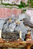 Flycatcher Muscicapa striata Zdjęcia Royalty Free