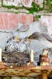 Flycatcher Muscicapa striata Zdjęcie Stock