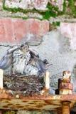 Flycatcher Muscicapa striata Stock Image