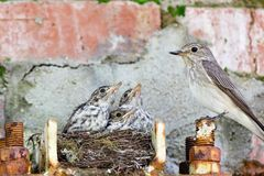 Flycatcher Muscicapa striata Royalty Free Stock Photo