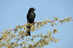 Flycatcher negro meridional Imagen de archivo libre de regalías