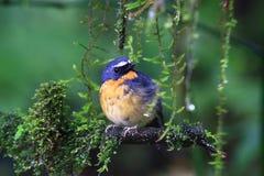 flycatcher Nevado-sobrancelhudo imagem de stock