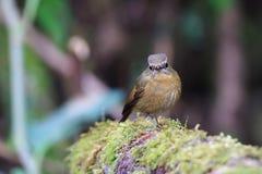 flycatcher Nevado-sobrancelhudo foto de stock royalty free