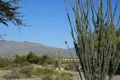 Flycatcher on the ocotillo Royalty Free Stock Image