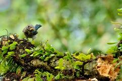 FLYCATCHER Oiseau-Bleu et blanc Photographie stock