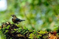 FLYCATCHER Oiseau-Bleu et blanc   Photo libre de droits