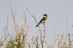 Flycatcher Oliva-parteggiato, cooperi del Contopus Fotografia Stock