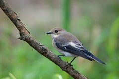 FLYCATCHER pie Photo libre de droits