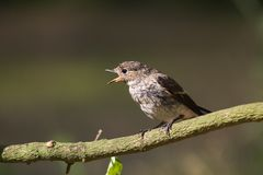 FLYCATCHER pie Photographie stock