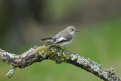 FLYCATCHER pie femelle Photographie stock