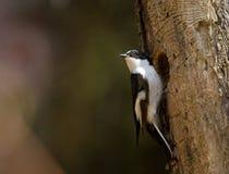 Flycatcher Pied em uma cavidade Fotografia de Stock Royalty Free