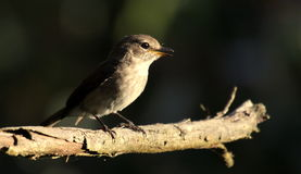A flycatcher pirched in a tree Royalty Free Stock Photography