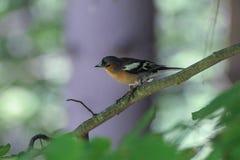 Flycatcher ptak Fotografia Royalty Free