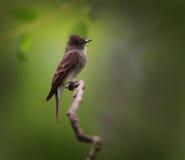 Flycatcher ptak Zdjęcia Royalty Free