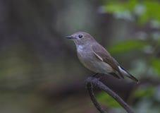 flycatcher Rojo-throated Imágenes de archivo libres de regalías