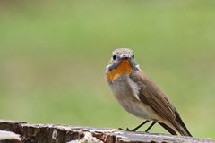 FLYCATCHER Rouge-throated Photos stock