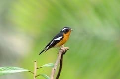 flycatcher samiec mugimaki Obrazy Royalty Free