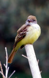 Flycatcher staring. Alerted Great Crested Flycatcher (Myiarchus crinitus) standing on pole stock images
