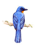 Flycatcher Tickell голубой Стоковые Фотографии RF