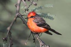 Flycatcher Vermilion (rubinus del Pyrocephalus) Fotografie Stock Libere da Diritti