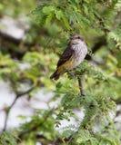 Flycatcher Vermillion del bambino Fotografia Stock Libera da Diritti