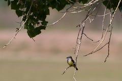 flycatcher verticalis tyrannus δυτικά Στοκ φωτογραφία με δικαίωμα ελεύθερης χρήσης