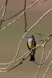 flycatcher verticalis tyrannus δυτικά Στοκ Εικόνες