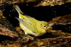 Flycatcher Yellow-bellied Fotografia Stock Libera da Diritti