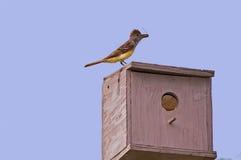 Flycatcher Z pluskwą Zdjęcie Royalty Free