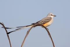 flycatcheren scissor tailed Arkivfoto