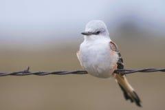 Flycather сказа Sissour Стоковое Изображение