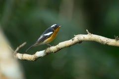 Flycather de Mugimaki Fotos de archivo