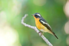 Flycather de Mugimaki en el bosque de Tailandia Fotografía de archivo