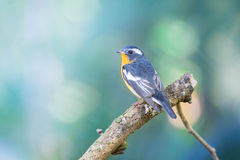 Flycather de Mugimaki en el bosque de Tailandia Fotos de archivo