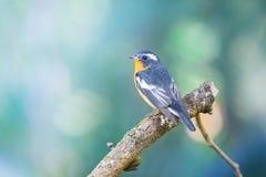 Flycather de Mugimaki na floresta de Tailândia Fotos de Stock