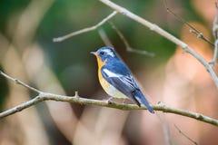 Flycather de Mugimaki na floresta de Tailândia Fotos de Stock Royalty Free
