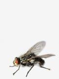 Flye - extreme macro Royalty Free Stock Photo