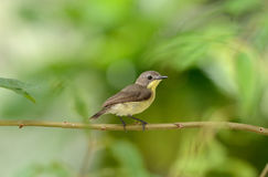 Flyeater bird Royalty Free Stock Photo