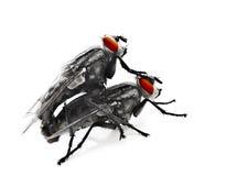 flyes ζευγαρώνοντας Στοκ Εικόνες