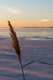 Flyffy reed by winter season Royalty Free Stock Photo