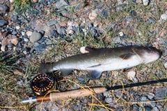 Flyfishing и хариус Стоковая Фотография RF