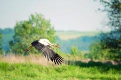 flygäng över storkwhite Royaltyfri Fotografi