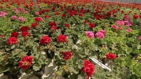 Flyg över att blomma pelargon, flyg över röda blommande pelargon i ett modernt växthus lager videofilmer