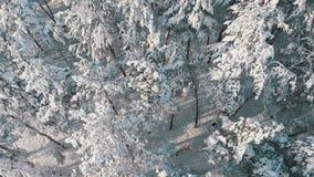 Flyg över den snöig blasten av träd av en vinterpinjeskog på en solig dag arkivfilmer
