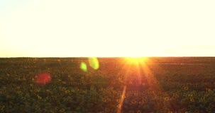 Flyg över ett fält av solrosor lager videofilmer