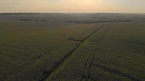 Flyg över fältet för grön havre på sommarsolnedgångantennen arkivfilmer
