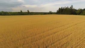 Flyg över organiskt kornfält arkivfilmer