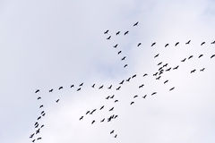 Flyg av den gemensamma kranen Arkivfoton