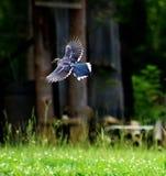 Flyg av den majestätiska blåa nötskrikan arkivbild