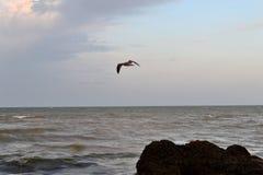 Flyg av fiskmåsar Arkivfoto